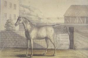 Le Vizir, cheval de Napoléon, en 1825, Anonyme, dessin, XIXe siècle,  coll. musée de l'Armée