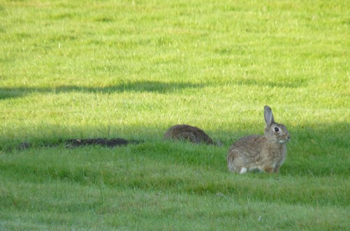 Two rabbits on the esplanade of the Hôtel des Invalides. © Paris, musée de l'Armée